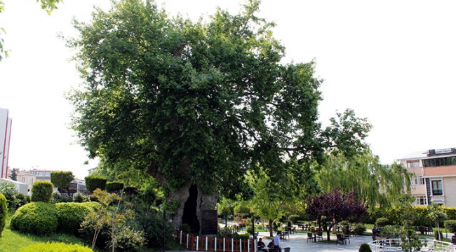 Darıca'da bulunan 850 yaşındaki çınar ağacı zamana meydan okuyor!