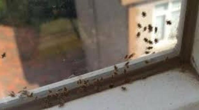 Darıca'yı minik dantel böcekleri istila etti
