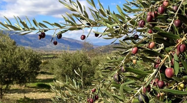 Darıca'da icradan satılık dev zeytinlik